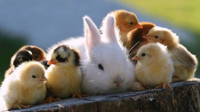 chicken and rabbit