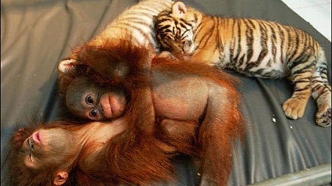 monkeys and tiger cub