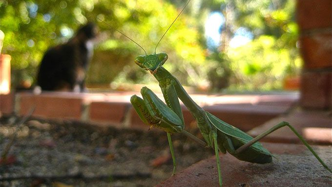 male praying mantis
