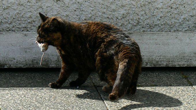 A cat's jaw can't move sideways, so a cat can't chew large chunks of food