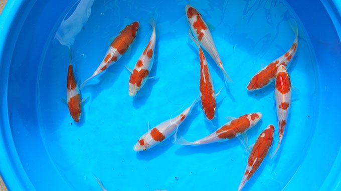 Understanding koi fish color meaning lifedaily for Koi fish color meaning chart