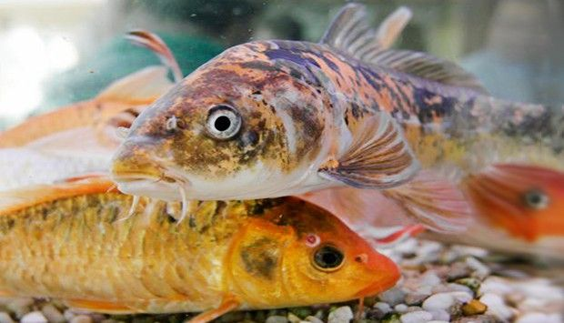 Understanding koi fish color meaning lifedaily for Koi fish color meaning