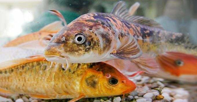 Understanding koi fish color meaning lifedaily for What does koi mean