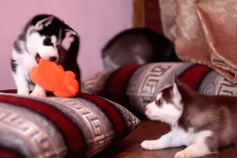 Adrorable Husky Pups Fought Over a Toy: Watch How Mama Broke It Up