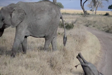 Baby Elephant Throws an Adorable Tantrum, Watch Him Roll in the Dirt