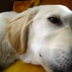 Sleeping Puppy Wakes Himself Up by Singing Along to a Harmonica
