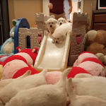 Golden Retriever Puppies Adorably Stampede A Slide To Get To Dinner