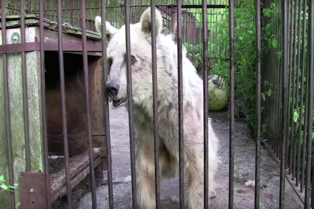 animals should not be kept in cages History throughout history not only domestic animals as pets and livestock were kept in captivity and under human care, but also wild animals some were failed.