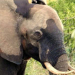Lucky Elephant In Need Gets Saved By Man With Metal Detector