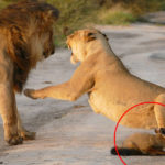 Lion Family Caught Injured Fox: What Happened Next Is Hard To Believe