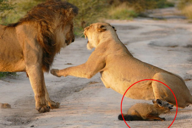Lioness Protects Fox