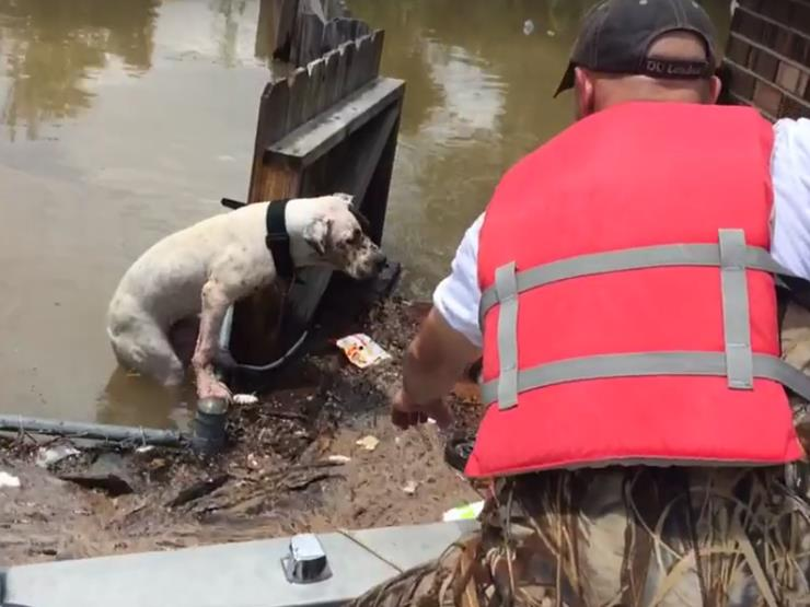 Pit Bull Trapped By Floods