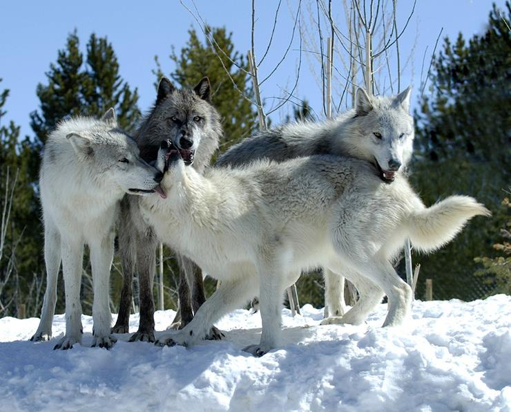 eradication of wolves upsets balance of nature in yellowstone Yellowstone after wolves by: douglas w smith, rolf o peterson, and douglas b houston  instead of artificial reductions to control moose, the park service .