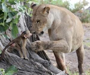 Lion Saved Baby Baboon