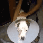 Miracle Dog Is Found Alive After Robbers Shoot Him In The Eye