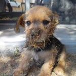 Rescuers Remove Hundreds Of Cactus Needles From Tiny Puppy