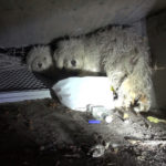 Poodle Siblings Finally Rescued After Living In Sewer For Weeks