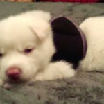 Siberian Husky Puppy Is Rescued Moments Before Being Euthanized
