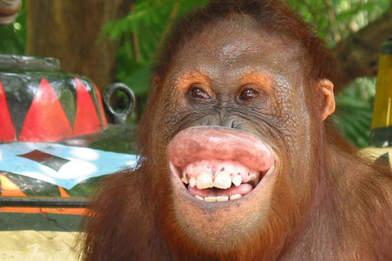 Orangutan teeth