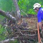 Rescuer Climbs 95-Foot Tree To Save Baby Bald Eagle
