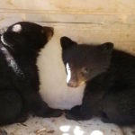 Orphaned Bear Cubs Rescued After Mother Was Hit By A Car