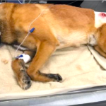 Police K-9 Back On His Feet Days After Taking A Bullet For Partner