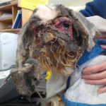 Abandoned Dog Was So Matted His Leg Stuck To His Ear