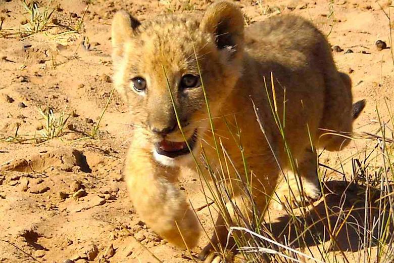 Sirga the Lion