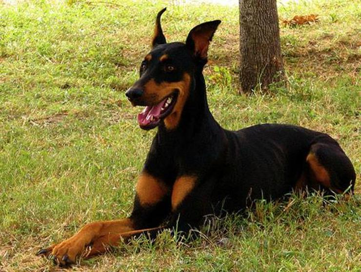 Khan the Doberman Story