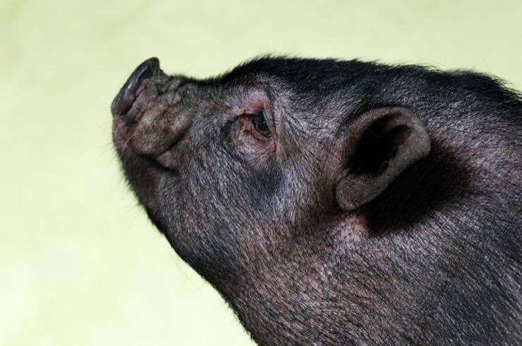 Lulu the Pig Story