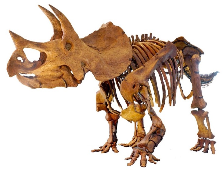 Thornton Triceratops Story