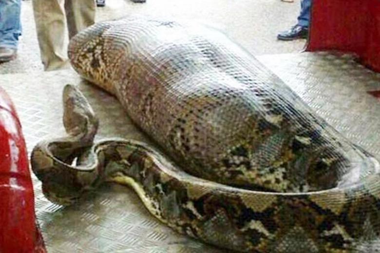 Muna Indonesia Snake Story