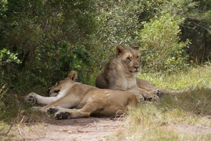 Poachers Eaten by Lions Story