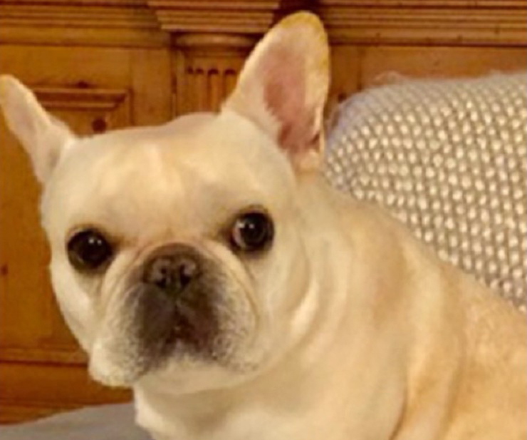 Darcy French Bulldog Story