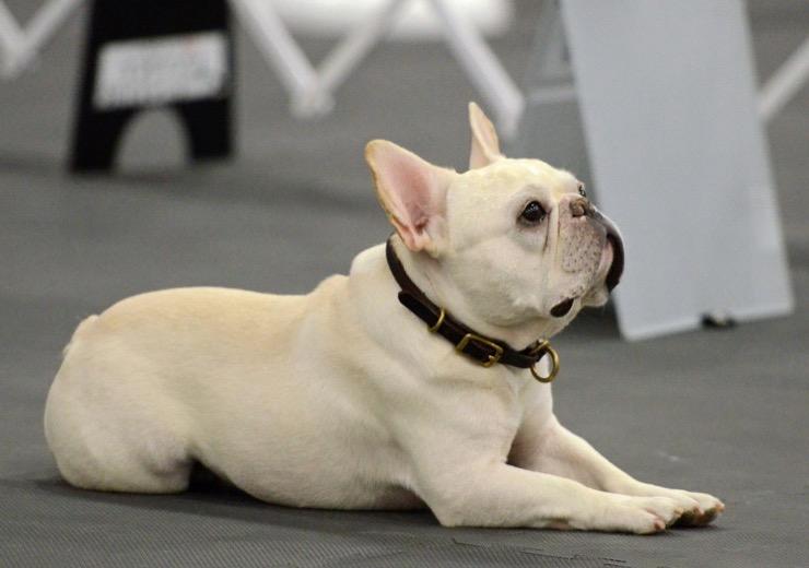 Darcy French Bulldog Story