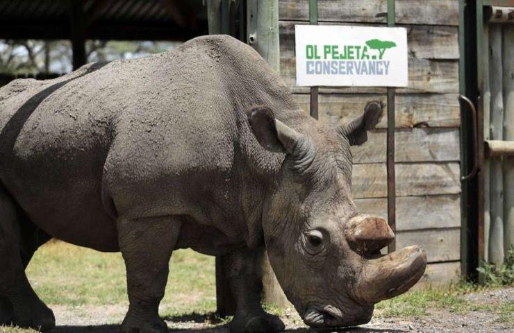 Northern White Rhino Story