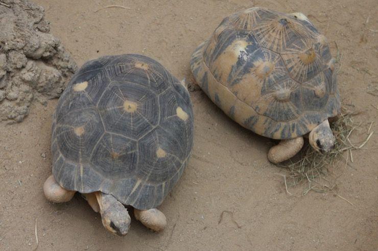 Rare Tortoise Story