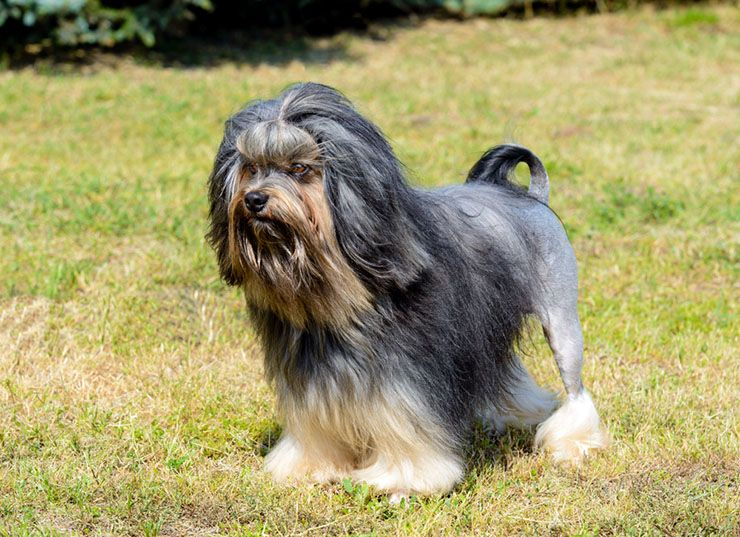 Most Expensive Toy Breed Dogs