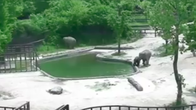 Adult Elephants Rescue Drowning Baby