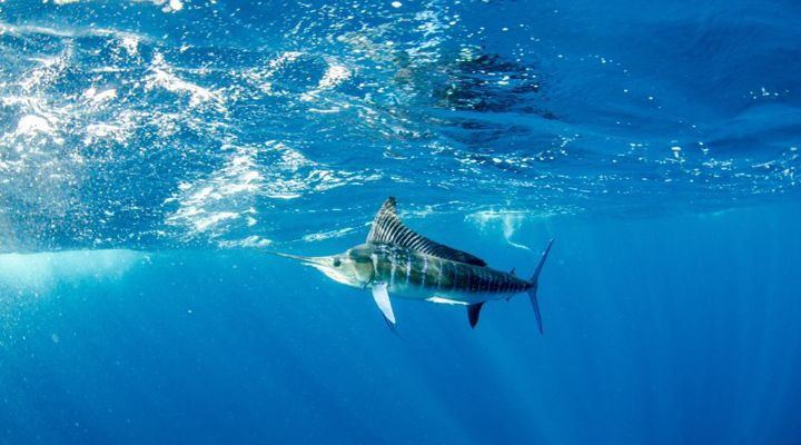 Record Blue Marlin Story